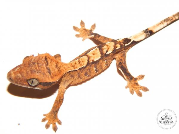 Image 3 of Unsexed Partial pin harlequin crested gecko