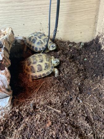 Image 8 of CB20 Horsefield Tortoises