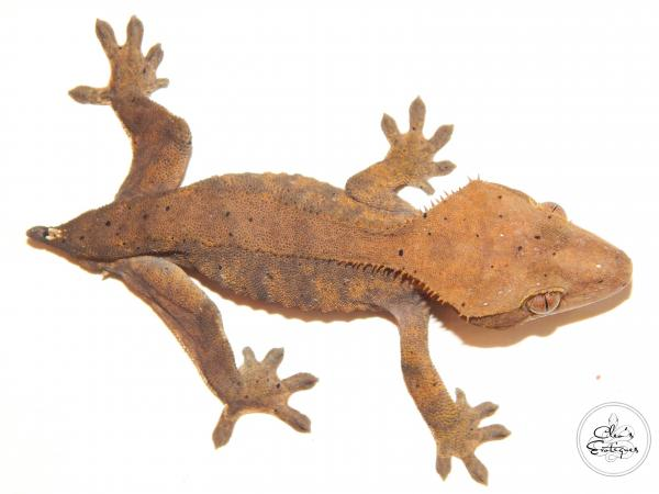 Image 3 of Male Dalmatian Crested Gecko