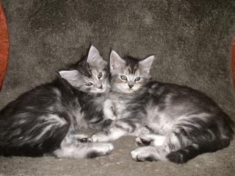 maine coon - Cats & Kittens, Rehome Buy and Sell in Lancashire