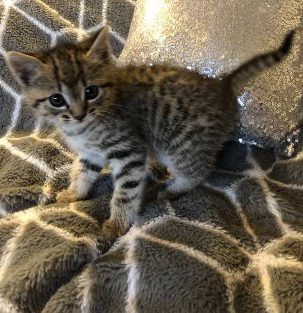 Image 3 of Beautiful tabby kitten for sale