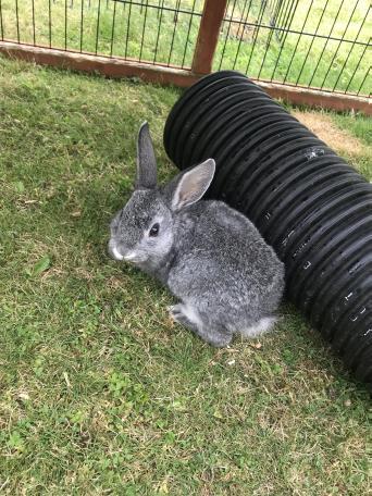 rabbits near me - Rabbits, For Sale | Preloved