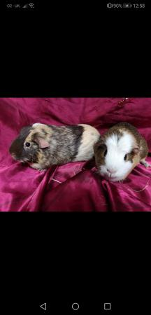 Image 4 of Help offered 4 hamsters and guinea pigs