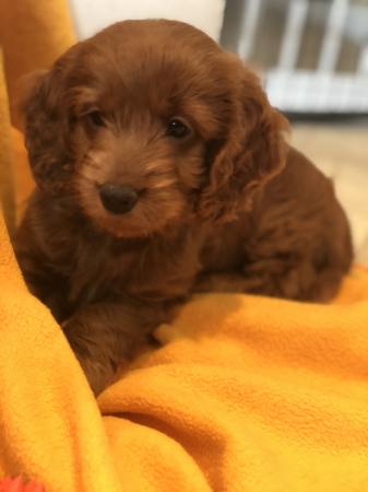Image 6 of Kennel Club registered Red miniature poodle for stud