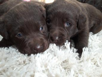 Labrador Dogs Puppies For Sale In North West Preloved