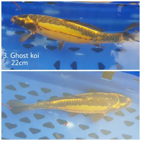 Image 2 of Ghost koi