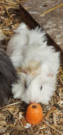 Image 3 of guinea pigs babies ready now