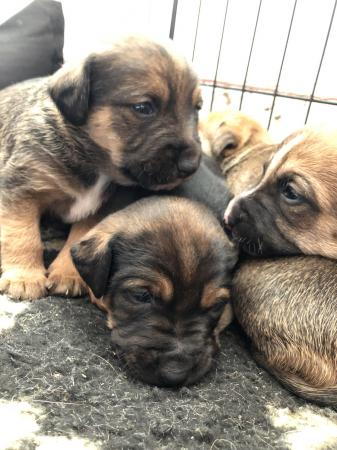 Image 4 of Border terrier x puppies for sale.
