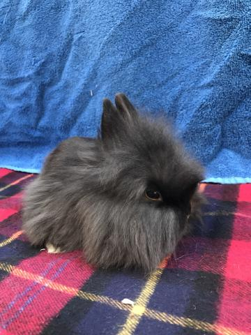 Preview of the first image of Single mane Lionhead rabbit.