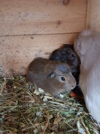 Image 2 of Guinea pigs £25 each