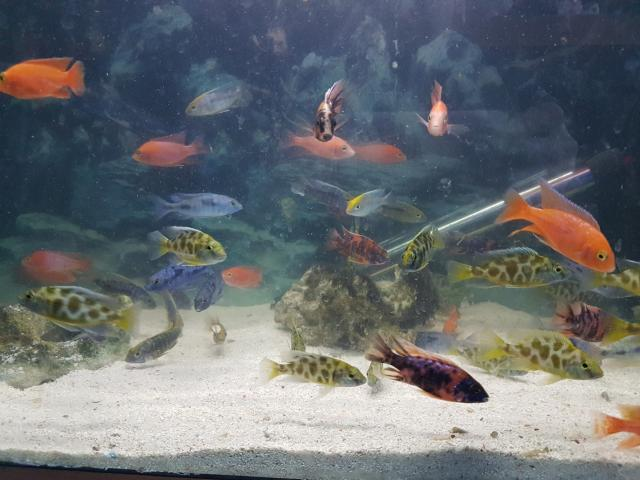 Preview of the first image of Malawi cichlids approx 6.5cm £8.