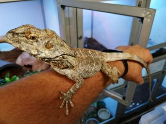 pet lizards - Reptiles, For Sale | Preloved