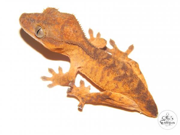 Image 2 of Female orange brindle Crested Gecko