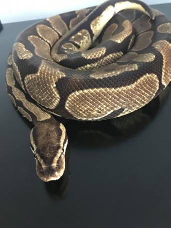 Desert Ghost Royal Python Reptiles Rehome Buy And Sell Preloved