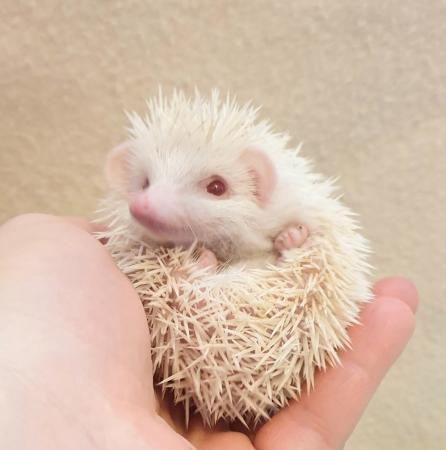 Image 1 of Stunning African Pygmy Hedgehogs - APH Club Approved