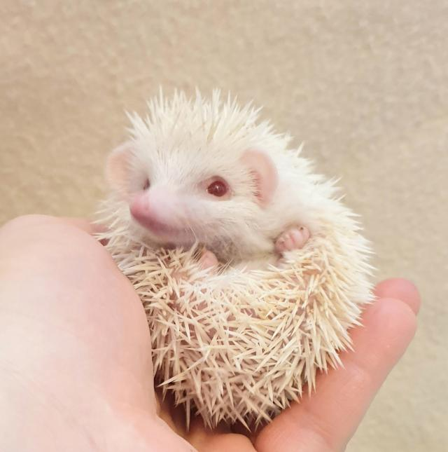 Preview of the first image of Stunning African Pygmy Hedgehogs - APH Club Approved.