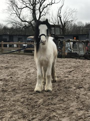 Preview of the first image of 3 year old cob.