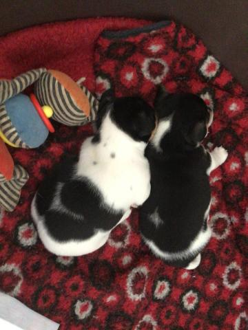 Preview of the first image of Jack Russell Pups.