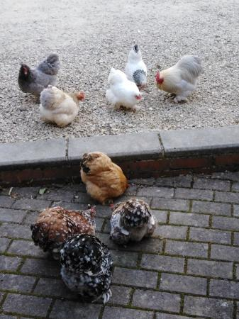 Image 2 of Pekin Bantam Hatching Eggs