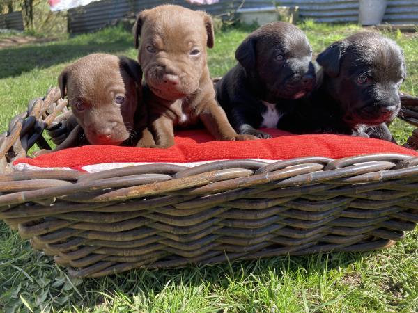 Image 2 of Patterdale Terrier Pups **DEPOSITS TAKEN ON ALL PUPS **