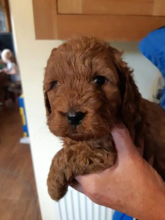 Image 10 of Kc, Registered pra clear deep Apricot toy poodle for stud