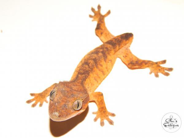 Image 3 of Female orange brindle Crested Gecko