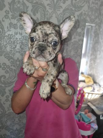Image 5 of Blue merle french bull dog puppies for sale