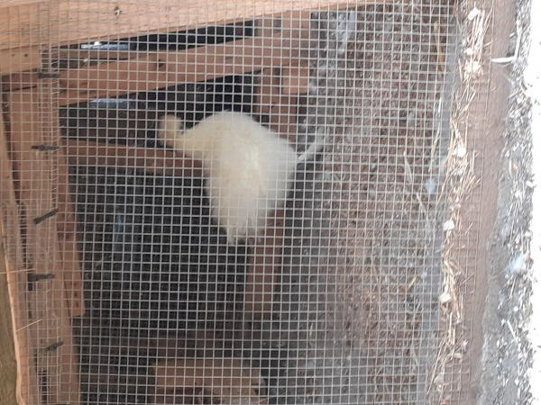 Image 1 of Silkie chickens.