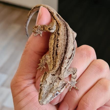Image 2 of Gargoyle Gecko