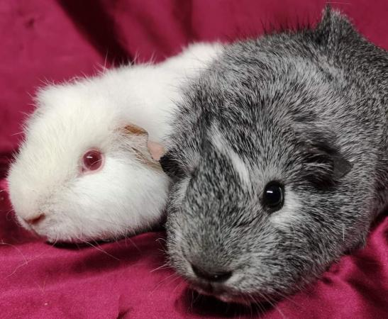 Image 2 of Help offered 4 hamsters and guinea pigs