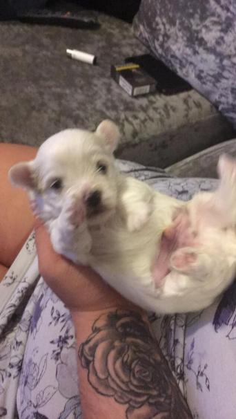 Morkie Dogs And Puppies For Sale In Scarborough Preloved
