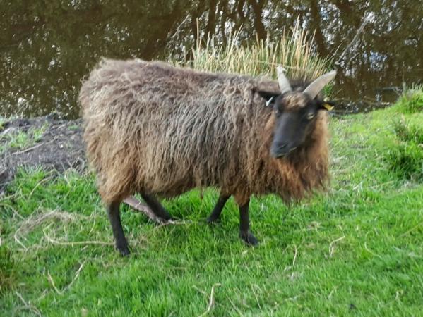 Image 1 of North Ronaldsay Ewes