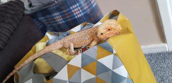 bearded dragon - Local Classifieds   Preloved