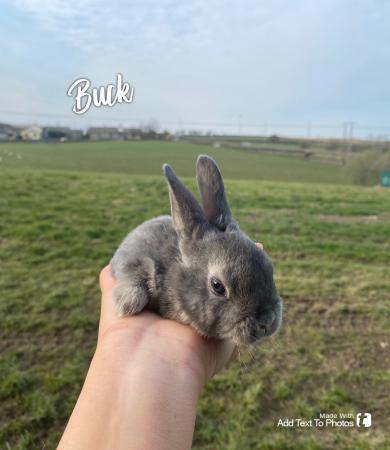 Image 3 of Mini Rex Rabbits
