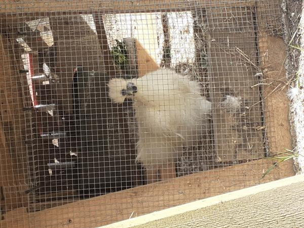 Image 2 of Silkie chickens.