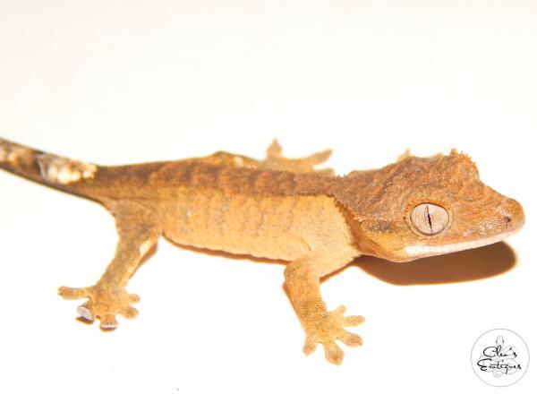 Image 3 of Brindle Crested Gecko