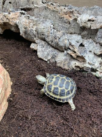 Image 10 of CB20 Horsefield Tortoises