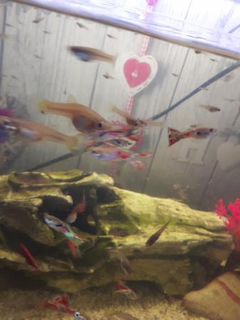 Image 3 of fantail endlers guppys assorted species fish