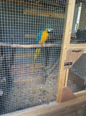 breeding pair macaws