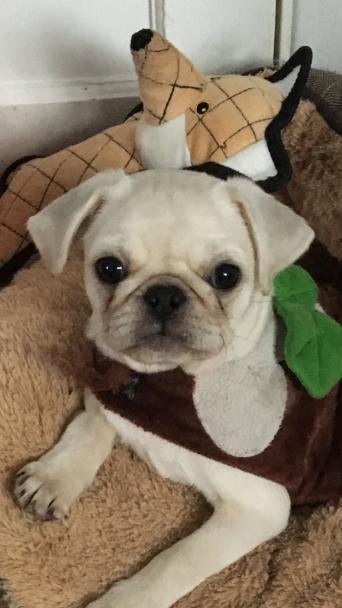 Platinum Pug Dogs Puppies Rehome Buy And Sell Preloved