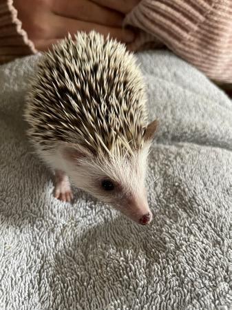 Image 2 of African Pygmy hedgehog