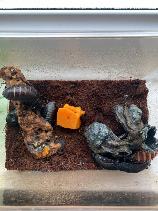 Preview of the first image of Madagascan hissing cockroach colony.