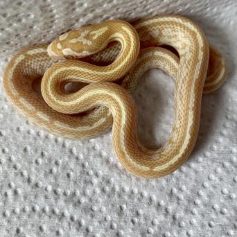 hypo lavender corn snake - Reptiles, Rehome Buy and Sell