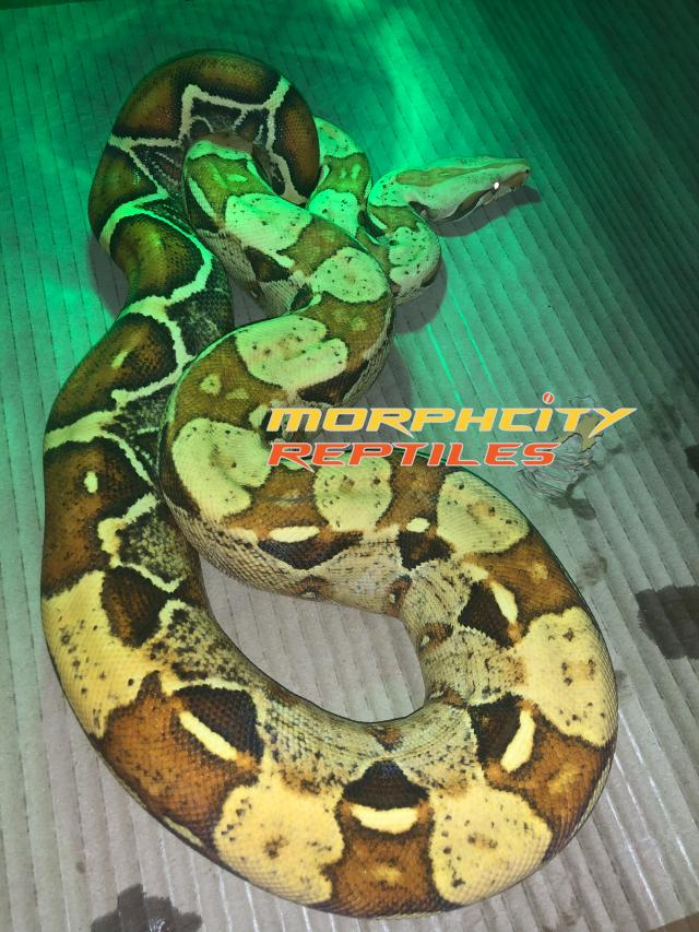 Preview of the first image of VPI T+ Albino female.