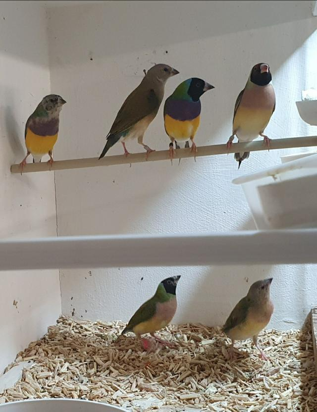 Preview of the first image of Gouldian Finches for Sale.