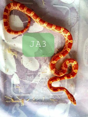 Image 7 of Holiday Sale Corn Snakes