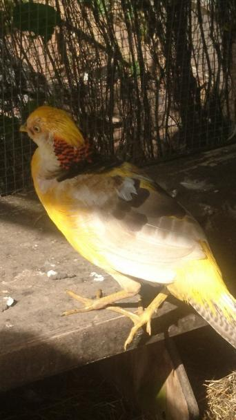 golden pheasant - Poultry and Game, Rehome Buy and Sell