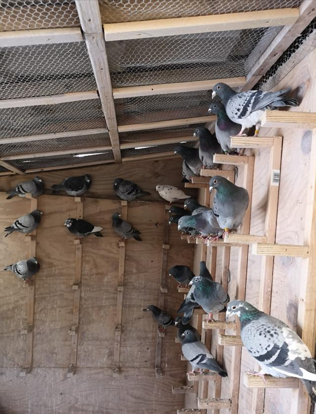 Preview of the first image of racing pigeons quality stock birds for sale.