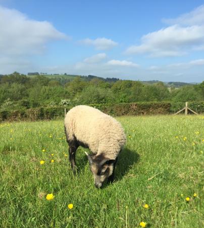 Image 1 of Friendly Shetland ram lambs