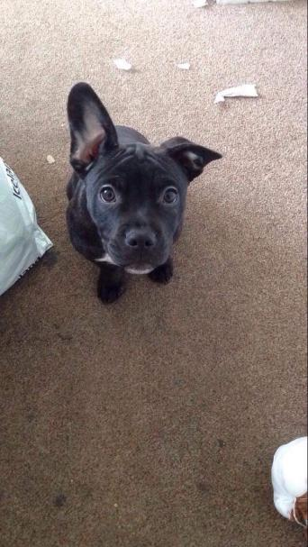 bulldog x staffy - Dogs and Puppies, Rehome Buy and Sell ...